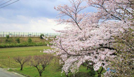 春が来た、桜満開♪